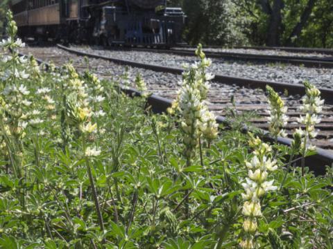 El tren para ver flores silvestres en abril pasa por Gold Country, en Jamestown